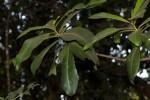 Rapanea melanophloeos