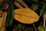 Pouteria adolfi-friedericii subsp. australis
