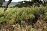 Euclea crispa subsp. crispa