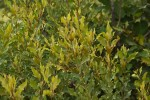 Euclea divinorum