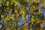 Diospyros lycioides subsp. sericea