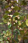 Diospyros natalensis subsp. nummularia