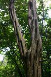 Diospyros senensis