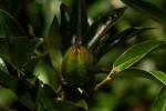 Diospyros whyteana