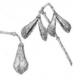 Schrebera trichoclada