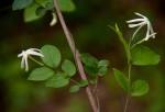 Jasminum streptopus