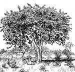 Strychnos cocculoides