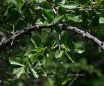 Strychnos madagascariensis