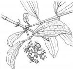 Strychnos spinosa