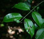 Strychnos usambarensis