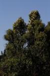 Nuxia floribunda