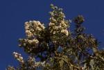 Buddleja salviifolia