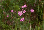 Chironia palustris subsp. transvaalensis