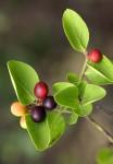 Carissa spinarum