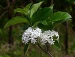 Holarrhena pubescens