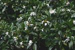 Tabernaemontana stapfiana
