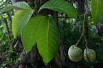 Voacanga africana