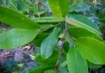 Mascarenhasia arborescens
