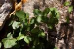 Cryptolepis obtusa