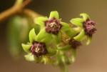 Raphionacme procumbens