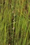 Aspidoglossum interruptum