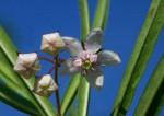 Gomphocarpus fruticosus subsp. fruticosus