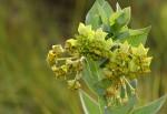 Gomphocarpus swynnertonii