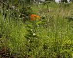 Stathmostelma spectabile subsp. spectabile