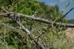Cynanchum gerrardii
