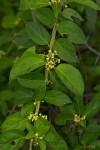 Marsdenia sylvestris