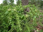 Marsdenia macrantha