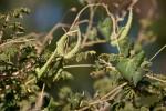 Pergularia daemia subsp. daemia