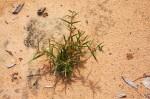 Fockea angustifolia