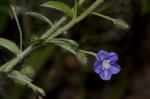 Evolvulus alsinoides var. alsinoides