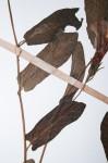 Ipomoea fulvicaulis var. heterocalyx