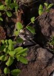 Ipomoea leucanthemum