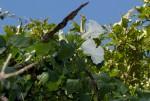 Ipomoea shupangensis