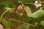 Ipomoea sinensis subsp. blepharosepala