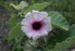 Ipomoea verbascoidea