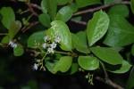 Ehretia amoena