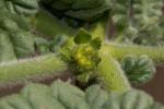 Coldenia procumbens