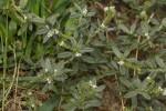 Heliotropium ovalifolium