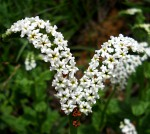 Heliotropium steudneri