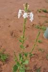 Chascanum hederaceum var. hederaceum
