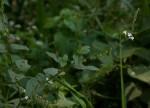 Priva flabelliformis