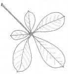 Vitex madiensis subsp. milanjiensis