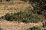 Kalaharia uncinata