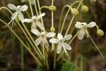 Clerodendrum robustum var. robustum