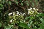 Clerodendrum pleiosciadium
