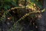Tinnea zambesiaca